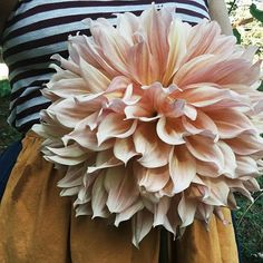 Just look at this glorious Papageno dahlia my neighbor brought me. I really must grow these beauties next year.