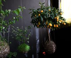 inspiration from the Japanese practice of Kokedama, a modern development stemming from the art of Bonsai.
