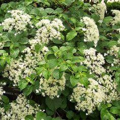 Top 15 Most Beautiful Hydrangea Flowers - Live Dan 330