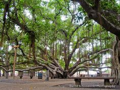 Banyan Tree, Lahaina, Maui  David Schoonover Photography. Sat under this tree. It is magnificent