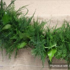 #2 Seller: Plumosus with Salal