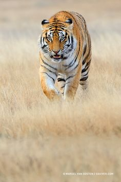 "♂ wildlife photography animal tiger south Africa ""Closing In"" by Marsel van Oosten"