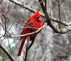Cardinal, a beautiful sight in the winter! (From my backyard)!  ~PTR~