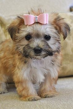 adorable female morkie puppy, future girlfriend for my puppy Leo :)