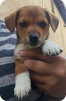 Long Beach, CA - Beagle Mix. Meet Evan, a puppy for adoption. http://www.adoptapet.com/pet/16269839-long-beach-california-beagle-mix