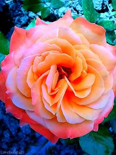 (9+) Homefeed - YouPic Beautiful Images, Rose, Flowers, Plants, Photos, Inspiration, Biblical Inspiration, Pink, Pictures