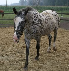The POA has the markings of an Appaloosa.  (Pony of the Americas)