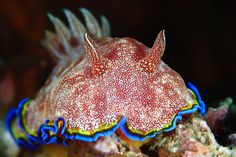 Nudibranch!  Chromodoris albopunctata by Eugene Lim on 500px
