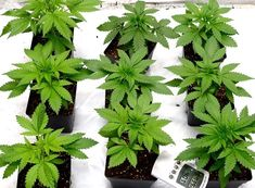 Easy Grow Schedule For Soil Growers - I Love Growing Marijuana Growing Weed Indoors, Growing Herbs, Marijuana Plants, Cannabis Plant, Weed Plants, Hydroponic Grow Systems, Cannabis Cultivation, Winter Garden