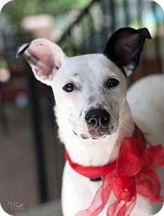 Baton Rouge, LA - Terrier (Unknown Type, Medium) Mix. Meet Kasha, a dog for adoption. http://www.adoptapet.com/pet/12642560-baton-rouge-louisiana-terrier-unknown-type-medium-mix