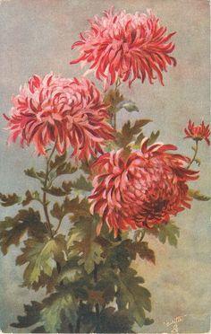 Dark pink mums ~ 1906.