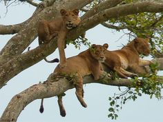 Lions in tree . . .