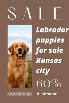Labrador puppies for sale Kansas City have high search intent over the internet. According to AKC, the rate of Labrador puppy registration in Kansas is growing gradually. Presently, the Labrador retriever is the......................................................... #Labrador #labradorretriever #labradorite #labradors Labrador Puppies For Sale, Labradors, Kansas City, Labrador Retriever, Internet, Search, Dogs, Animals, Labrador Retrievers