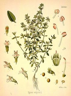 THYME (leaves/oil) Air/Mercury - Energy cleansing. Helps in divination. Aids in connecting to psychic vibrations & to the faery folk.