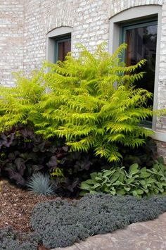 First Editions® Tiger Eyes® Cutleaf Staghorn Sumac Rhus typhina Bailtiger