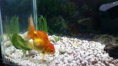 Mi goldfish.