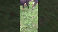 Товарный скот, дешевый КРС, +79656176005 WhatsApp