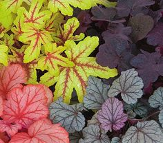 Heuchera- From sun to part shade = beautiful foliage. Many colors and varieties to choose from. All may be grown around Black Walnut trees