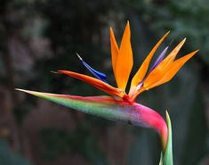 Super bird of paradise tattoo trees ideas Exotic Plants, Exotic Flowers, Tropical Flowers, Amazing Flowers, Bird Of Paradise Tattoo, Birds Of Paradise Plant, Calla Lily Flowers, Language Of Flowers, Trees To Plant