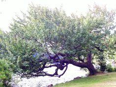 Fantastic  fairy tree muskoka ontario
