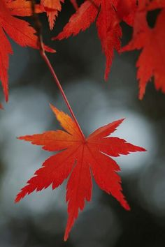 Im in love with the color of  Japanese maple. Tattoo inspiration