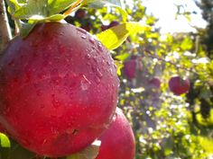 Apple orchards are one of my favorites!