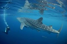 Wisata paus hiu..di kabupaten bone bolango provinsi gorontalo **courtesy of Janny TE-UGM 90** Indonesia is beautiful!