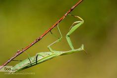 mantis by LeeSa. Please Like http://fb.me/go4photos and Follow @go4fotos Thank You. :-)