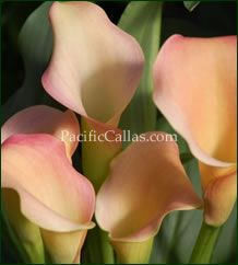 Calla Lily Coral Passion - Large Size!  (ZANTEDESCHIA HYBRID)