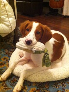 My Brittany Spaniel. Cutest pup in the world!