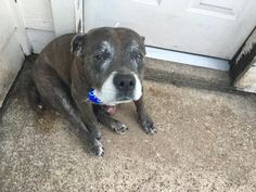 This DOG - ID#A467382 - URGENT - Harris County Animal Shelter in Houston, Texas - ADOPT OR FOSTER - 8 year old Female American Pit Bull Terrier  - at the shelter since Sep 02, 2016.