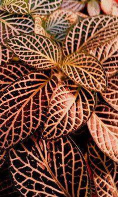 Fitonias color rojizos