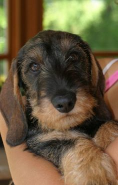 """Visit our website for additional info on """"dachshund puppies"""". It is a great spot to find out more. Baby Dogs, Pet Dogs, Dog Cat, Doggies, Dog Photos, Dog Pictures, Cute Puppies, Dogs And Puppies, Dachshund Love"""