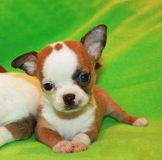 A most unusual Chihuahua. Aye Pequeno y bonita!! Te Quiero!