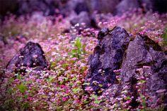 Ha Giang in Buckwheat Flowers Season | Vietnam Wonders of The World
