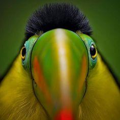 Wildlife Animals & Nature — .  Photography by © (Erino erto). Tucano. #nature...