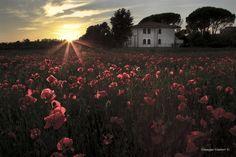 Papaveri a Campo -  © foto Giuseppe Giuttari