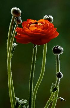 We used this color (& others) in our table top wedding decor. Ranunculus does visually well to sub for roses and is lovely for those organic, wildflower feel arrangements.