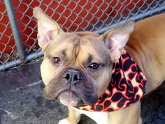 RETURNED 05/23/15 STRAY --- RTO SAFE 01/25/15 --- Manhattan Center PAPO - A1025538 NEUTERED MALE, TAN / BLACK, ENG BULLDOG / STAFFORDSHIRE, 2 yrs OWNER SUR - ONHOLDHERE, HOLD FOR COURTESY Reason PERS PROB Intake condition UNSPECIFIE Intake Date 01/15/2015 https://www.facebook.com/photo.php?fbid=946284265384453