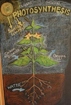 Waldorf ~ 5th grade ~ Botany ~ Photosynthesis ~ chalkboard drawing by deann