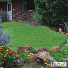 Legacy buffalo grass is a  premium-quality native turf grass variety  bred by University of Nebraska agronomists to be a drought tolerant, low care turf grass with the  lush look of traditional bluegrass or fescue lawns. We recommend using Organic Plant Magic as a root dip to spur grass plug growth.