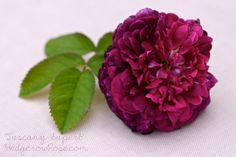 'Tuscany Superb' Gallica Rose