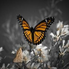 Monarch by Ronnie S.