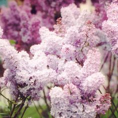 Lilacs in Amsterdam  Fine Art Photography Print  by CarolFletcher,