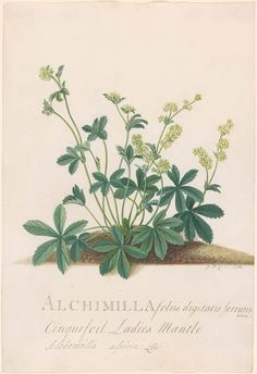 Georg Dionysius Ehret | Alchimilla alpina (Cinquefoil) | Drawings Online | The Morgan Library & Museum