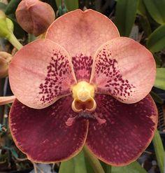 Vanda hybrid (Vanda 'Jiraprapa' x Vanda 'Chindavat') x Vanda 'Butterfly' - Odom's Orchids, Inc.
