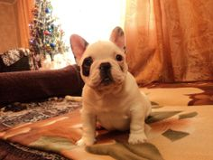 """Male for sale. Born 6/11/13/ Pedigree RKF/FCI J.Ch.Poison D""""Acebo Puppet Master*J.Ch.RKF Ch.Чаровница Баловница  https://www.facebook.com/profile.php?id=100004458933987&hc_location=stream"""