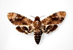 death moth | death head moth