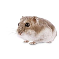 Djungarian Hamster Oh My Gosh hamsters! Hamsters for