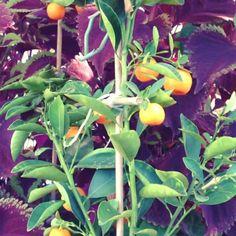 Aquaponics Greenhouse #aquaponics #greenhouse #fruit #vegetables #fish #garden #organic